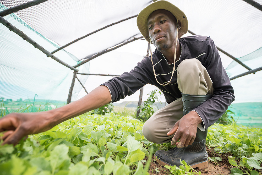 """3 March 2017, Thaba Bosiu, Lesotho: Farmer David Moshoeshoe is 33 years old. He lives on the hillside of Thaba Bosiu, """"Night Mountain"""" in Thaba Bosiu, Lesotho, where he grows vegetables, mainly cabbage and spinach. Here, he tends to cabbages that are one month old. They are ready to be harvested after a total of three months. Thaba Bosiu is a sandstone plateau some 24 kilometers east of Lesotho's capital, Maseru. The name means Night Mountain, and surrounding the plateau is a small village and open plains. Thaba Bosiu was once the capital of Lesotho, and the mountain was the stronghold of the Basotho king when the kingdom of Lesotho was formed."""