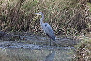 A Great Blue Heron (Ardea herodias) foraging for lunch at Willband Creek Park in Abbotsford, British Columbia, Canada.