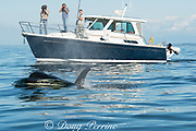 transient orca or killer whale, Orcinus orca, passes next to a research vessel with a film crew in the Salish Sea, between the San Juan Islands, Washington, United States and the Gulf Islands off the east coast of Vancouver Island, British Columbia ( BC ), Canada