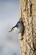 Stock photo of white-breasted nuthatch photographed in Colorado. These birds forage mainly on trunks and large limbs of trees.  In the winter, they cache food in bark crevices.