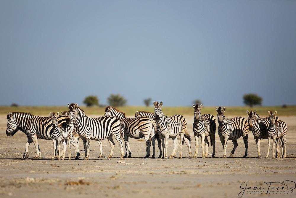 A harem of plains zebra (Equus quagga) maintain a fixed stare while standing statuesque on the Makgadikgadi Pan of the Kalahari, Botswana, Africa