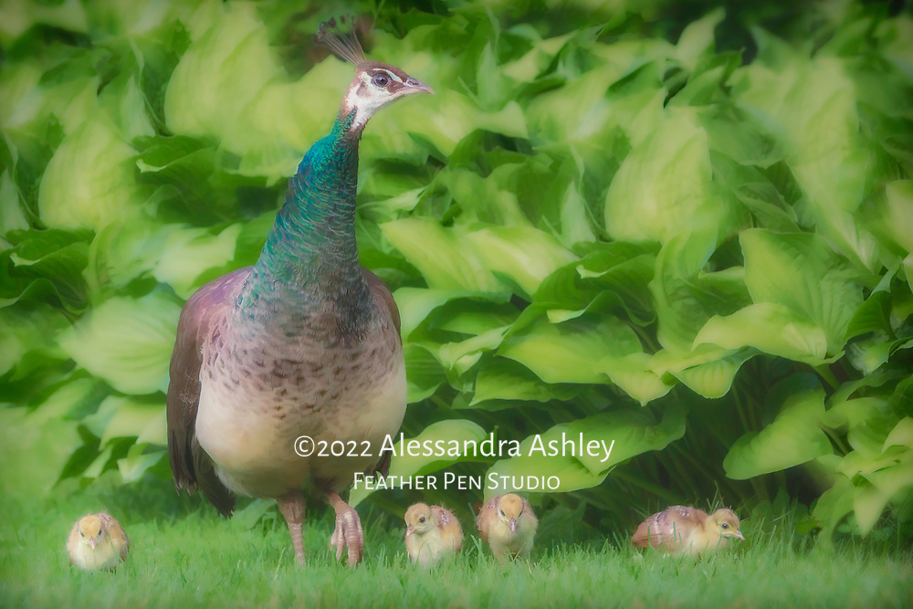 Mother peahen with four new hatchlings, all out for a garden stroll.