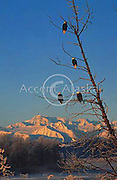 Alaska. Haines. Chilkat Bald Eagle (Haliaeetus leucocephalus) Preserve. Valley of the Eagles. Alaska has more eagles than the rest of the USA combined. Every Novemberto Decemeber between 1000 -4000 bald eagles gather here.