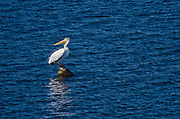 American white pelican (Pelecanus erythrorhynchos) on Lake of teh Woods<br />