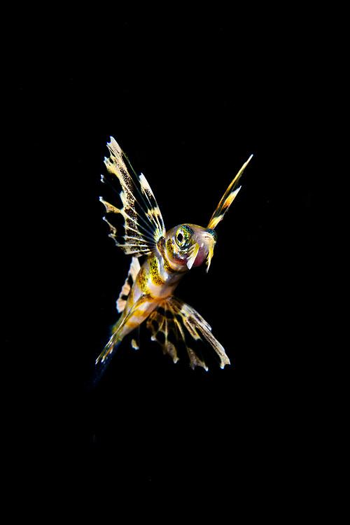 Flying fish, Cypselurus sp. (2 cm), possibly Cypselurus doederleinii. Close to the surface at night, Anilao, Philippines.