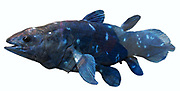 Coelacanth - were thought to have become extinct at the end of the Cretaceous.  Many specimens have however been found in the deep waters between Africa and Madagascar.  It is a large fish, bright blue in colour.