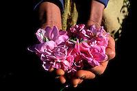 Maroc - Haut Atlas - Vallée du Dadès - Vallée des Roses - Récolte des Roses