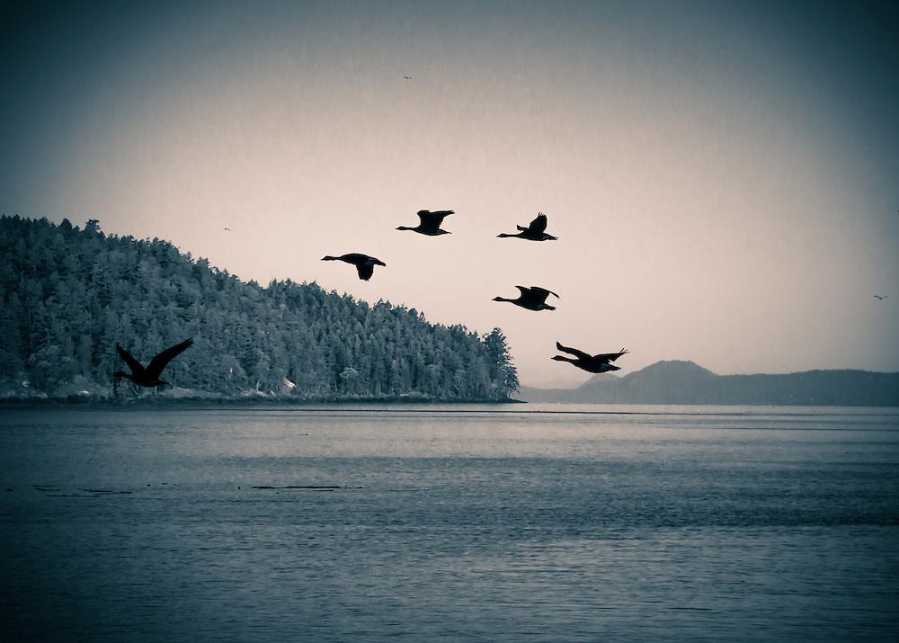 BIrds on Wind<br /> Birds Flying around San juan Island