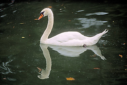 Swan At Imperial Palace