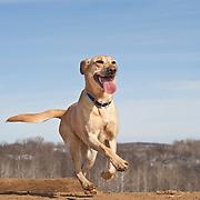 20130321 Will Labrador Retrievers