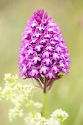 Pyramidal Orchid, Anacamptis pyramidalis, Sandwich Bay, Kent UK - Kent Wildlife Trust, a herbaceous perennial