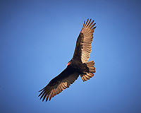 Turkey Vulture in flight. Image taken with a Nikon D4 camera and 80-400 mm VRII telephoto zoom lens (ISO 100, 400 mm, f/6.3 1/400 sec).