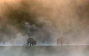 Bison (Bison bison) graze in steamy wonder.  Yellowstone NP, USA