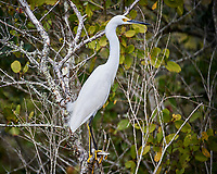 Snowy Egret in a tree. Black Point Wildlife Drive, Merritt Island National Wildlife Refuge. Image taken with a Nikon D3s camera and 80-400 mm VR lens (ISO 200, 350 mm, f/5.6, 1/400 sec).