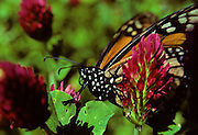 Monarch butterfly in Crimson clover - Mississippi