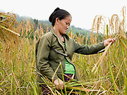 A pregnant White Hmong ethnic minority woman harvesting glutinous rice using a sickle, on an upland field, Ban Hauywai, Phongsaly province, Lao PDR.  Compared to more modern sedentary lowland farmers, shifting cultivators generally use much fewer purchased inputs.  The main inputs are family labour, hand tools and seeds. Purchased fertilisers are never used on sloping land.