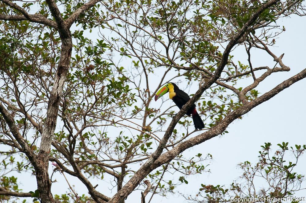 Keel Billed Toucan, Ramphastos sulfuratus brevicrinatus, Panama, Central America, Pipeline Road, Parque Nacional Soberania, perched in tree
