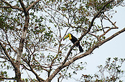 Keel Billed Toucan, Ramphastos sulfuratus brevicrinatus, Panama, Central America, Pipeline Road, Parque Nacional Soberania, perched in tree