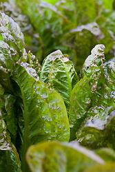 Cos lettuce 'Rubens'