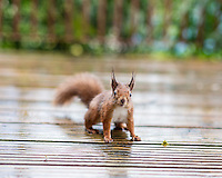 Isle of Wight Red Squirrel shot with shallow DoF using the Canon 50mm f/1.2L lens