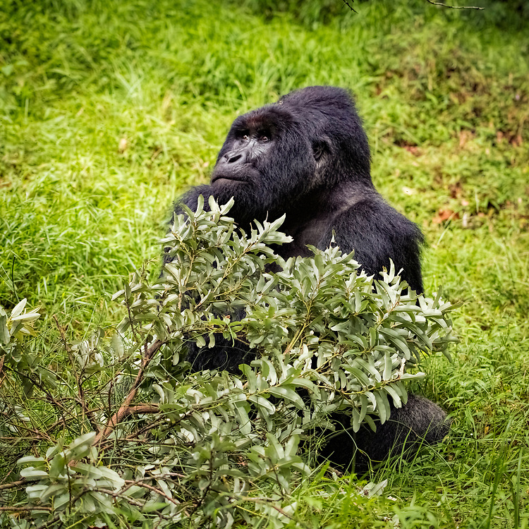 A large male silverback gorilla gazing at others in the group, before deciding to move on.