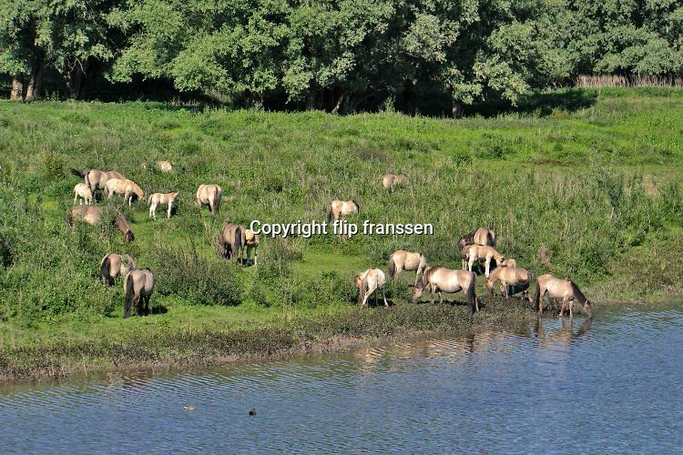 Nederland, Ooijpolder, 23-5-2020 Bij de Waal . Aan een strang graast een kudde wilde paarden, konikpaarden, koniks . Foto: Flip Franssen
