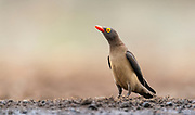 Red-billed oxpecker (Buphagus erythrorhynchus) from Zimanga, South Africa.