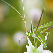 A grasshopper sits atop a white flower in the Coastal Region of South Texas.