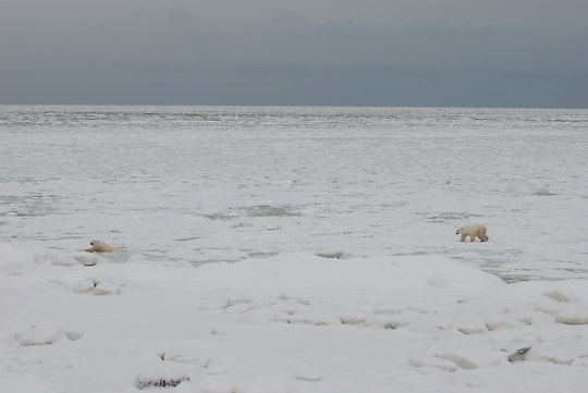 Polar Bear (Ursus maritimus) a mother and cub traveling on and breaking through the thin, newly formed ice on Hudson Bay just off Cape churchill, Manitoba.
