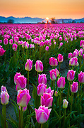 The Skagit Valley Tulip Festival is a tulip festival in the Skagit Valley of Washington state, United States. It is held annually in the spring, April 1 to April 30. <br /> <br /> Around 1883, George Gibbs, an immigrant from England, moved to Orcas Island, where he began to grow apples and hazelnuts. Nine years later, he purchased five dollars' worth of flower bulbs to grow, and when he dug them up a couple years later and saw how they had multiplied, realized the potential for bulb-growing in the Puget Sound region. He contacted Dutch growers in Holland to learn about the business, only to find the Dutch to be highly secretive about their commercial practices. However, when he shipped off a few a bulbs to Holland, the impressed Dutch growers traveled to Orcas Island to see for themselves how tulips could grow outside Holland.<br /> <br /> In 1899, Gibbs wrote to the United States Department of Agriculture regarding the commercial prospects of bulb-growing in the region, and they took interest. In 1905, they sent Gibbs 15,000 imported bulbs from Holland to grow as an experiment, under a contract. The experiment was so successful that the United States Department of Agriculture established its own 10-acre test garden in 1908 around Bellingham, which proved successful enough for the Bellingham Tulip Festival to begin in 1920 to showcase and celebrate the success of the bulb industry.