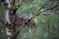 Great grey owl (Strix nebulosa) with chick in nest in boreal forest, Oulu, Finland.