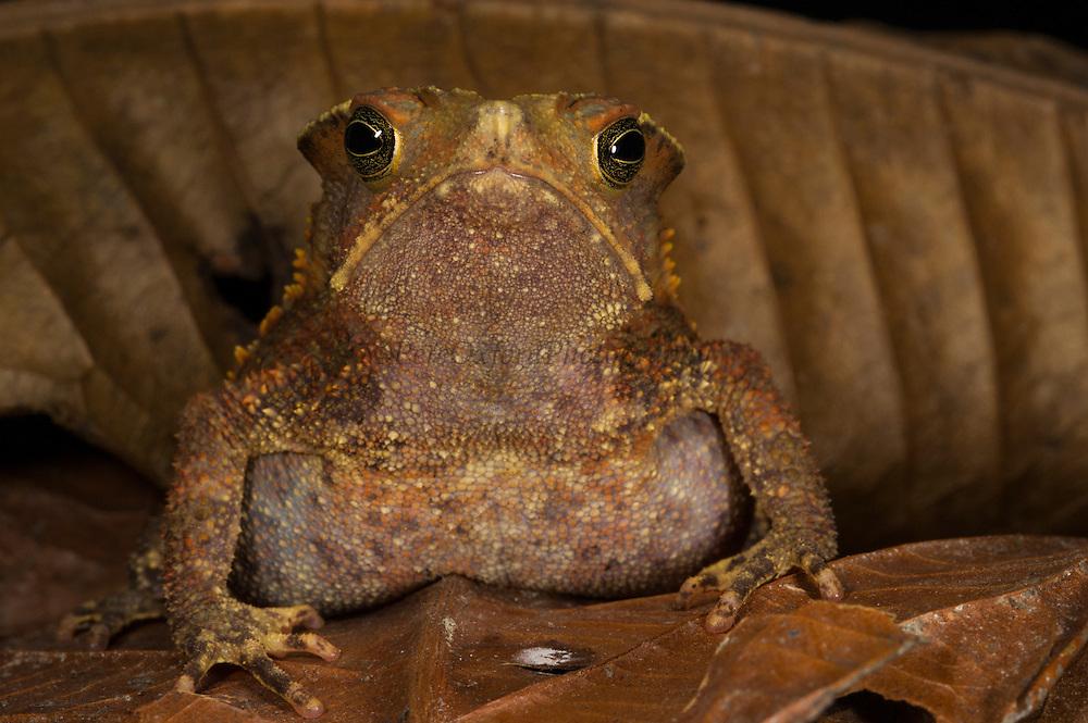 South American Common Toad (Rhinella margaritifera complex)<br /> CAPTIVE<br /> Central ECUADOR. South America<br /> RANGE: South America<br /> Tropical, lowland moist forests