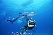 trainer Mike Schultz with bottlenose dolphin, Tursiops truncatus, at UNEXSO's The Dolphin Experience, off Freeport, Grand Bahama Island, Bahamas ( Western Atlantic Ocean )