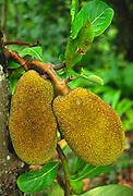 Jackfruit, Hawaii<br />