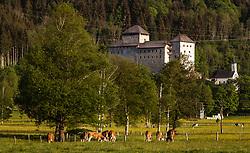 THEMENBILD - Kühe grasen auf einer Weide vor der Burg Kaprun, aufgenommen am 07. Mai 2018 in Kaprun, Österreich // Cows graze in a pasture in front of the castle Kaprun, Kaprun, Austria on 2018/05/07. EXPA Pictures © 2018, PhotoCredit: EXPA/ JFK