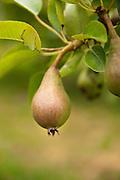 Fig on tree.