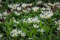 Erythronium californicum 'White Beauty' AGM syn. Erythronium oreganum 'White Beauty', Erythronium revolutum 'White Beauty' - Fawn lily - in the woodland garden