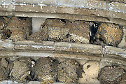 Frankrijk, Orleans, 31-8-2013Gierzwaluwen vliegen af en aan om hun jongen te voeden.De nesten zitten in de boog van de ingang van een oude kerk.Foto: Flip Franssen/Hollandse Hoogte