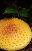 Fly Agaric (Amanita muscaria var. formosa) beautiful & poisonous mushroom - Quebec, Canada