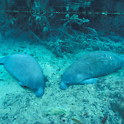 West Indian Manatee, (Trichechus manatus) In fresh water river. Florida.
