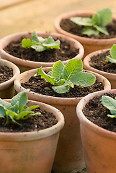 Potting on primroses. Terracotta pots planted up with young plants