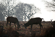 Young red deer stags in Richmond Park play act rutting in the winter sun January 22nd 2017 in London. Hundreds of wild red and fallow deer roam freely in the park and can easily be found when walking in the park.