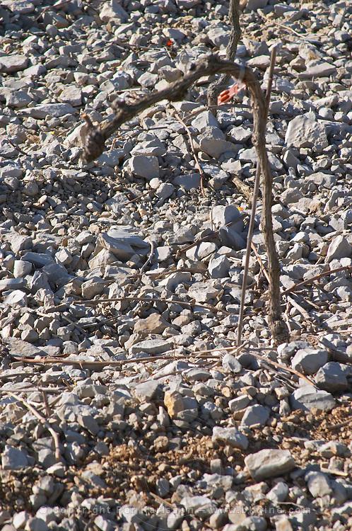 Domaine de Mas de Martin, St Bauzille de Montmel. Gres de Montpellier. Languedoc. Vines trained in Cordon royat pruning. Young vines. Terroir soil. In the vineyard. France. Europe. Soil with stones rocks. Calcareous limestone.