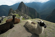 Machu Picchu Inca Ruins, with Llama,  Lama glama, Mount Huayna Picchu in background, Sacred Urubamba Valley, Andes, Peru, sacred, temple, andean, mountain. .South America....