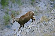 Stone's sheep (Ovis dalli stonei)<br />Stone Mountain Provincial Park<br />British Columbia<br />Canada