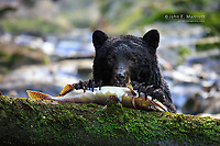 Black bear eating salmon in the Great Bear Rainforest, BC, Canada