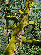Moss blankets a tree in the verdant Central Cascades of Washington, USA. Hike to Lake 22 on .the Mountain Loop Highway, near Verlot Visitor Center, in Mount Baker - Snoqualmie National Forest.