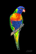 A Rainbow Lorikeet (Trichoglossus haematodus ) perched on a lone branch in the evening is lit by the camera flash in Cairns, Queensland, Australia.