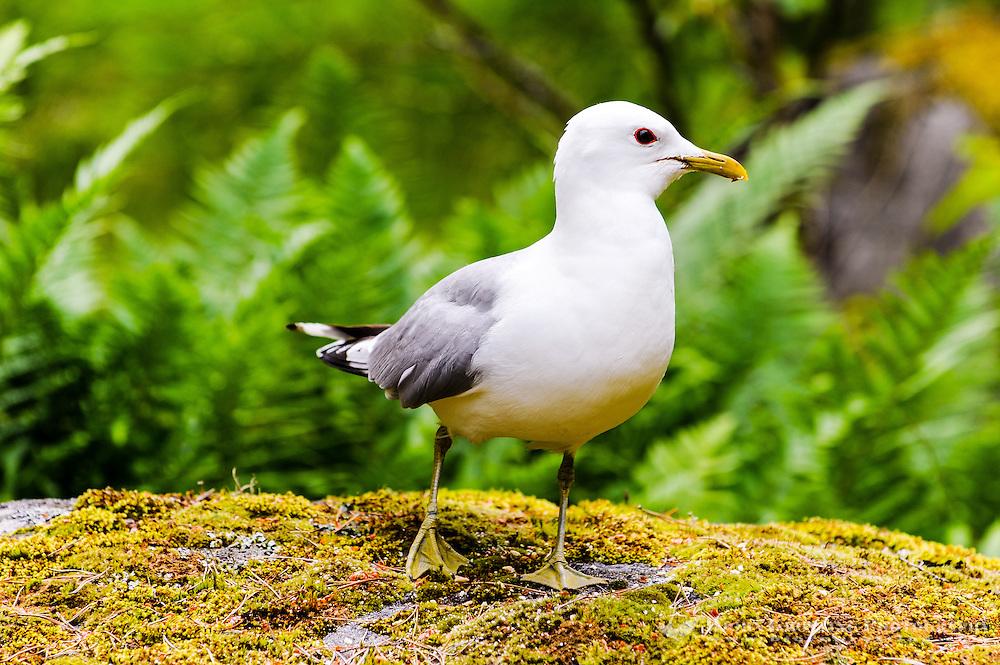 Sweden. Common Gull in the Stockholm Archipelago.