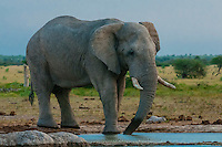 Elephant at water hole, Nxai Pan National Park, Botswana.